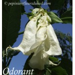 Brugmansia x candida Shredded White Fantasy