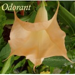Brugmansia versicolor Orange