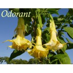Brugmansia hybride Golden Dream