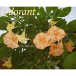 Brugmansia Double Apricot