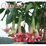 Brugmansia Angels Exotic