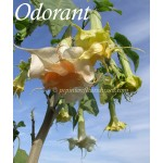 Brugmansia New Orleans Lady