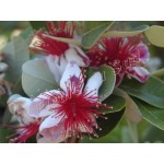 Feijoa  'Coolidge' (syn. Acca sellowiana)