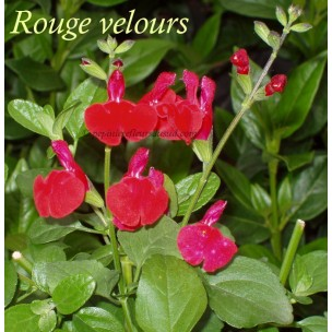 https://www.pepinierefleursdusud.com/300-thickbox_default/sauge-salvia-microphylla-royal-bumble.jpg