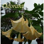 Brugmansia angel Butterface