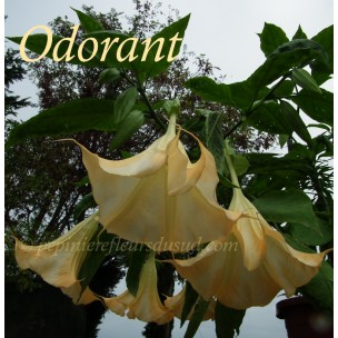https://www.pepinierefleursdusud.com/313-thickbox_default/brugmansia-angel-butterface.jpg