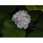 Clerodendron fragrans ou philippinum