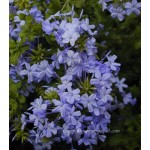 Plumbago capensis outremer