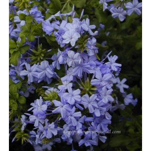 https://www.pepinierefleursdusud.com/372-thickbox_default/plumbago-capensis-outremer.jpg