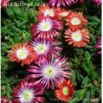 Delosperma dyeri Red Mountain