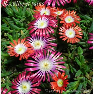 https://www.pepinierefleursdusud.com/431-thickbox_default/delosperma-dyeri-red-mountain.jpg