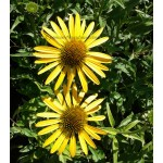Echinacea Mc N Cheese ®