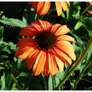 https://www.pepinierefleursdusud.com/441-thickbox_default/echinacea-tangerine-dream.jpg