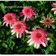 Echinacea Secret Passion ®