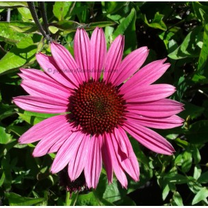 https://www.pepinierefleursdusud.com/445-thickbox_default/echinacea-fatal-attraction-.jpg
