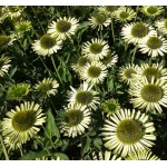 Echinacea Green Jewel ®