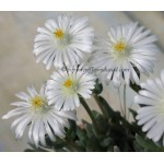 Delosperma 'Moonstone' Jewel of Desert ®