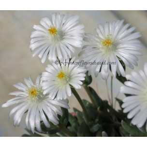 https://www.pepinierefleursdusud.com/458-thickbox_default/delosperma-moonstone-jewel-of-desert-.jpg