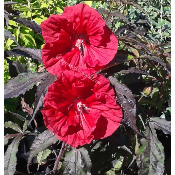 Hibiscus x moscheutos carrousel red wine p pini re for Engrais hibiscus exterieur