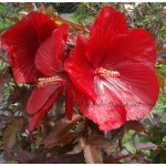Hibiscus x moscheutos Carrousel ® Geant Red