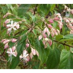 Clerodendron trichotomum (gros sujet)