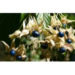 Clerodendron trichotomum Shiro