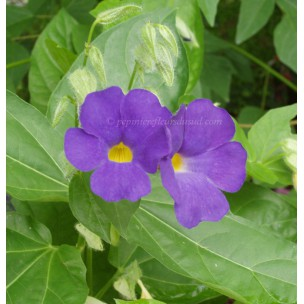 https://www.pepinierefleursdusud.com/575-thickbox_default/thunbergia-battiscombei.jpg