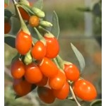 Lycium barbarum Instant Success (Goji)
