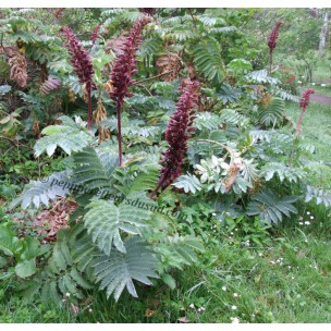 https://www.pepinierefleursdusud.com/658-thickbox_default/melianthus-major.jpg