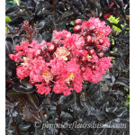 Lagerstroemia indica Black Solitaire Crimson Red