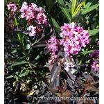Lagerstroemia indica Black Solitaire Shell Pink