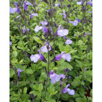 Sauge (Salvia) So Cool Pale Blue ®