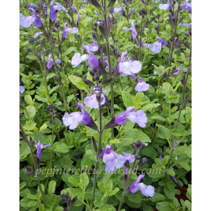 https://www.pepinierefleursdusud.com/705-thickbox_default/sauge-salvia-so-cool-pale-blue-.jpg